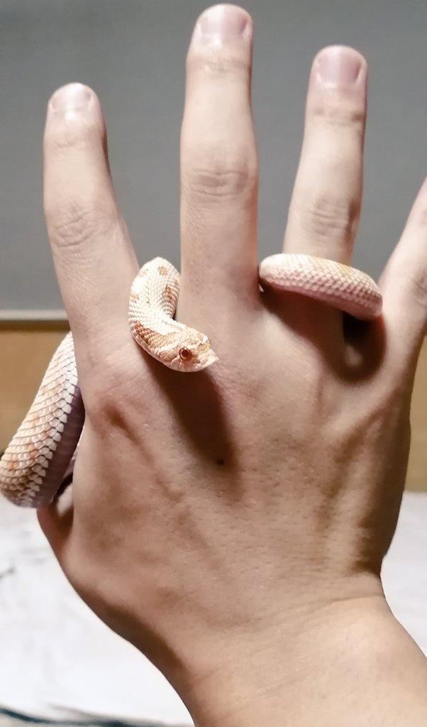 シシバナヘビのハンドリングその2