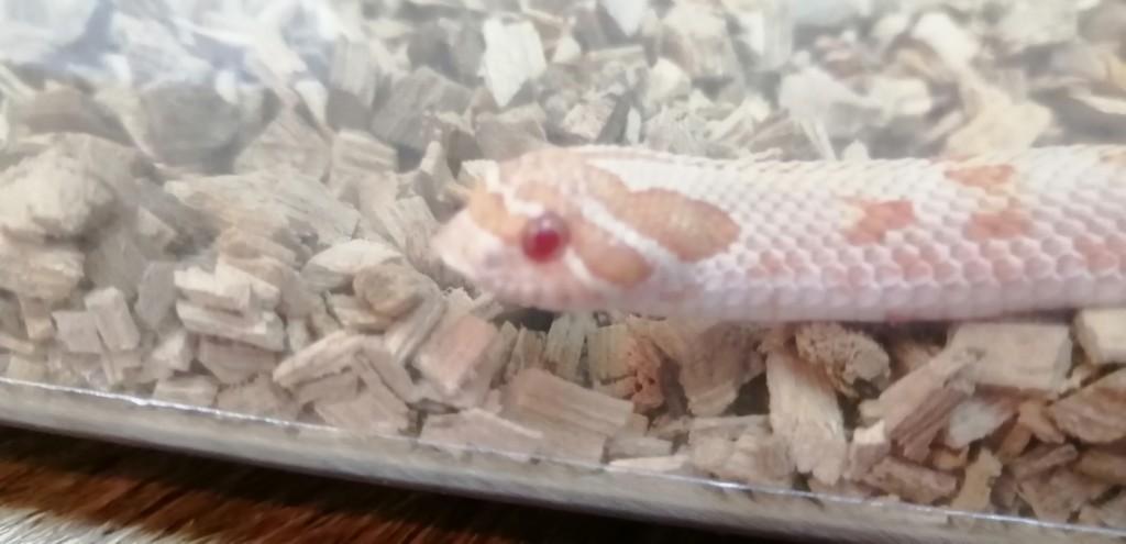 シシバナヘビの満福ちゃんの顔のアップ